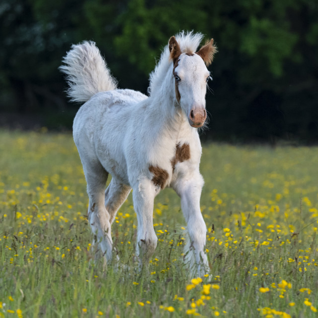 """Trotting foal"" stock image"