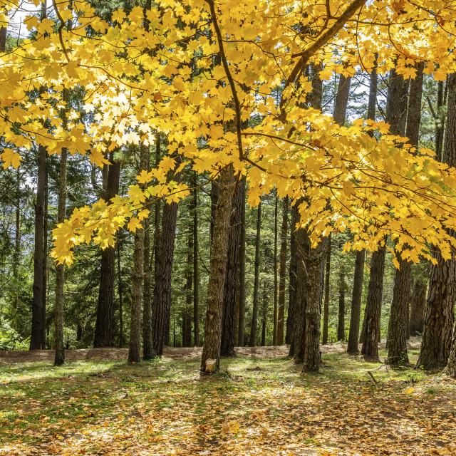"""Autumn falls on Mount Wilson, Blue Mountains"" stock image"