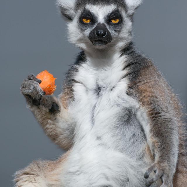 """Ring-tailed Lemur Eating Carrot"" stock image"