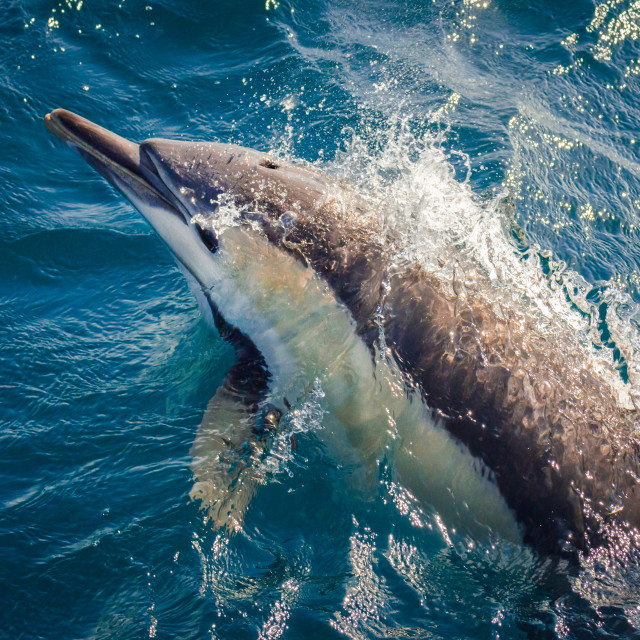 """""""Common Dolphin Jumping Out Of Water"""" stock image"""