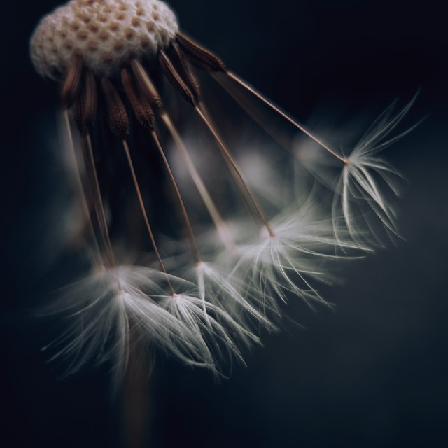 """""""Dandelion Seeds Hanging In There"""" stock image"""