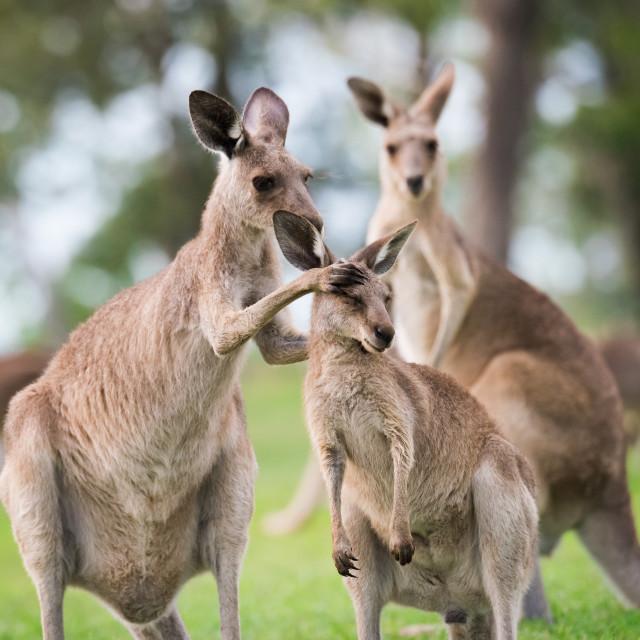 """""""Joey Kangaroo Being Groomed"""" stock image"""