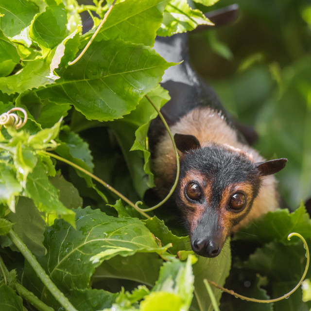 """""""Spectacled Flying Fox in Passionfruit Vine"""" stock image"""