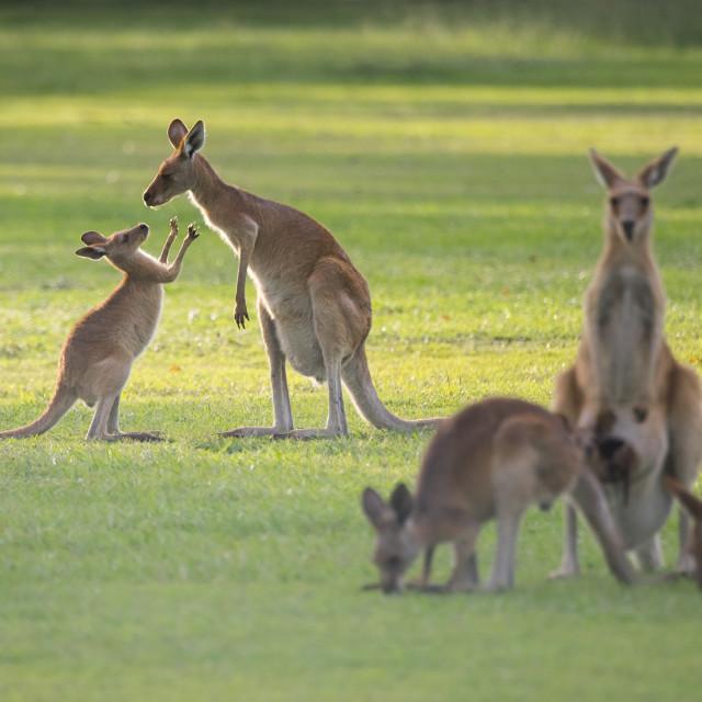 """""""Kangaroo Family Quality Time"""" stock image"""