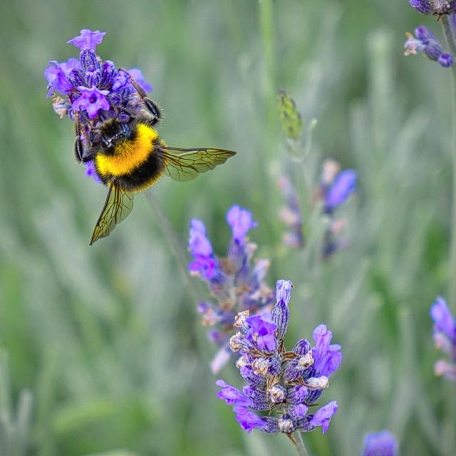 """Bumblebee At Work"" stock image"