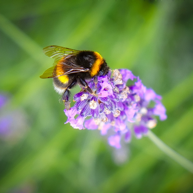 """""""Bumblebee On A Flower head"""" stock image"""