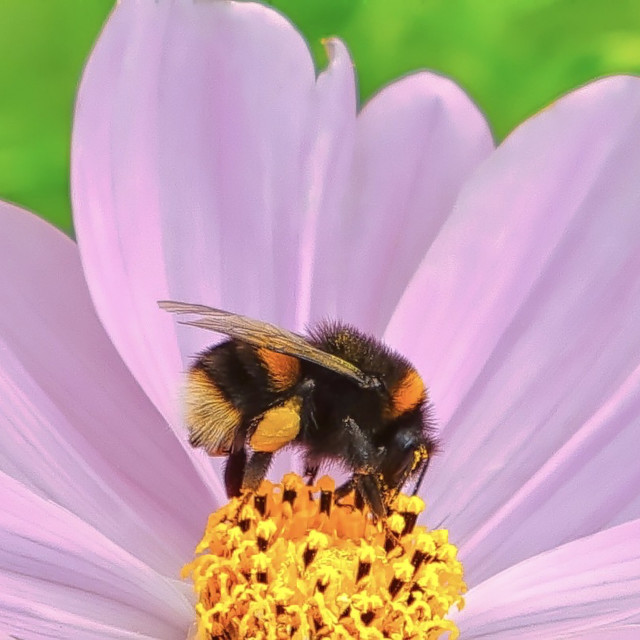 """""""Bumblebee On A Flower"""" stock image"""