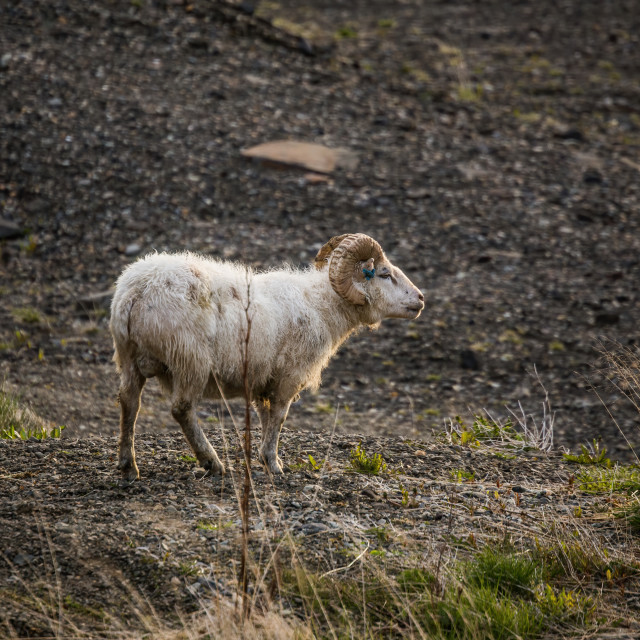 """""""The Ram in the Wild, Iceland"""" stock image"""