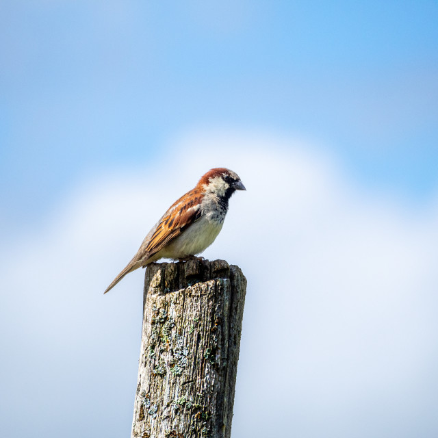 """""""Little Sparrow."""" stock image"""