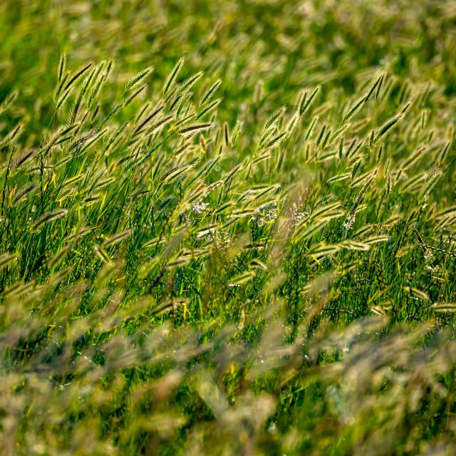 """""""Wall Barley."""" stock image"""