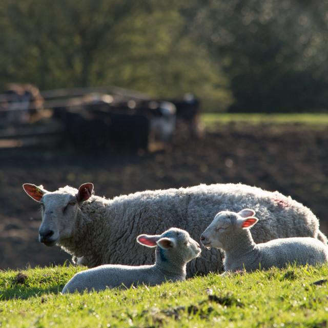 """""""Ewe with Lambs"""" stock image"""