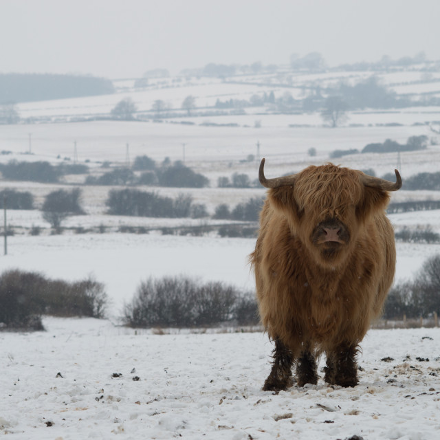 """Highland Cattle in Snow"" stock image"