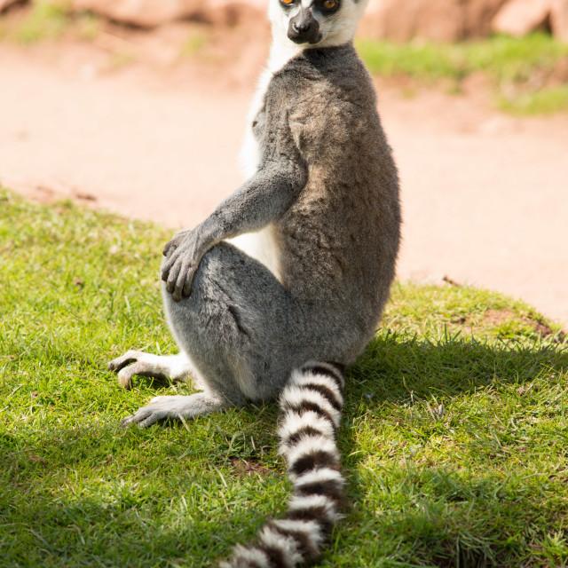"""""""Ring-Tailed Lemur"""" stock image"""