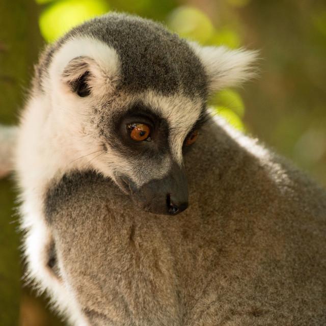 """Lemur in tree"" stock image"