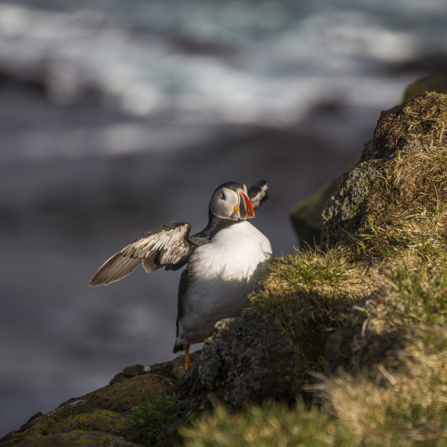 """""""The Puffin, Iceland"""" stock image"""