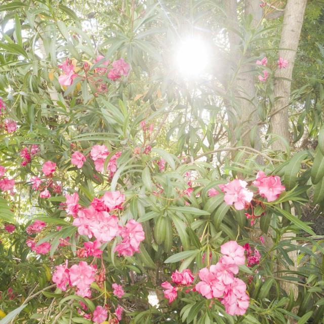 """""""Morning Pink"""" stock image"""