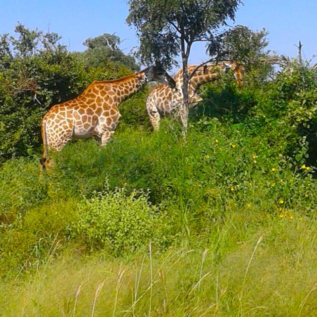 """""""Giraffes in Kruger park"""" stock image"""