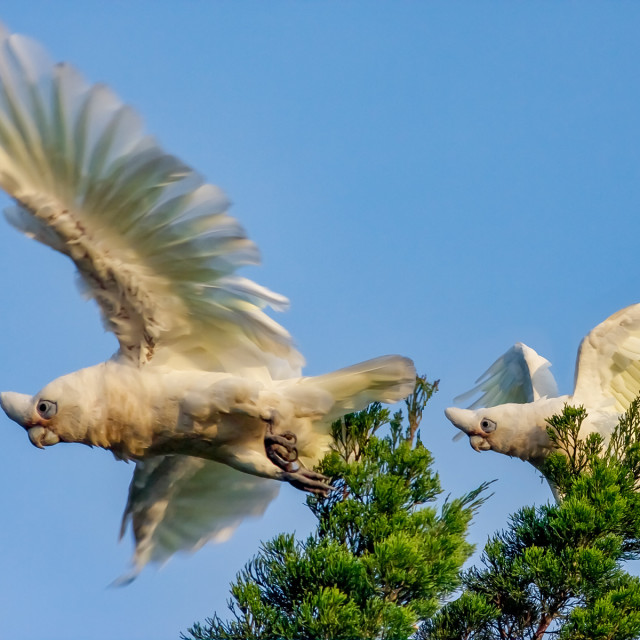 """Two Little Corellas Socialising"" stock image"