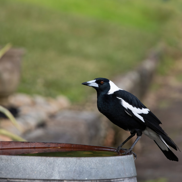 """""""The Magpie"""" stock image"""