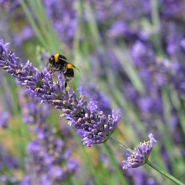 """""""Bumblebee On Rosemary"""" stock image"""