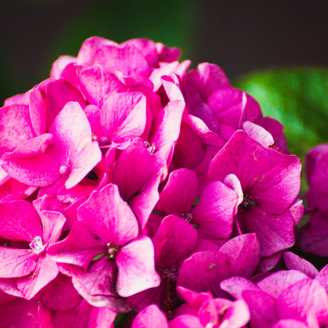 """Rhododendron"" stock image"