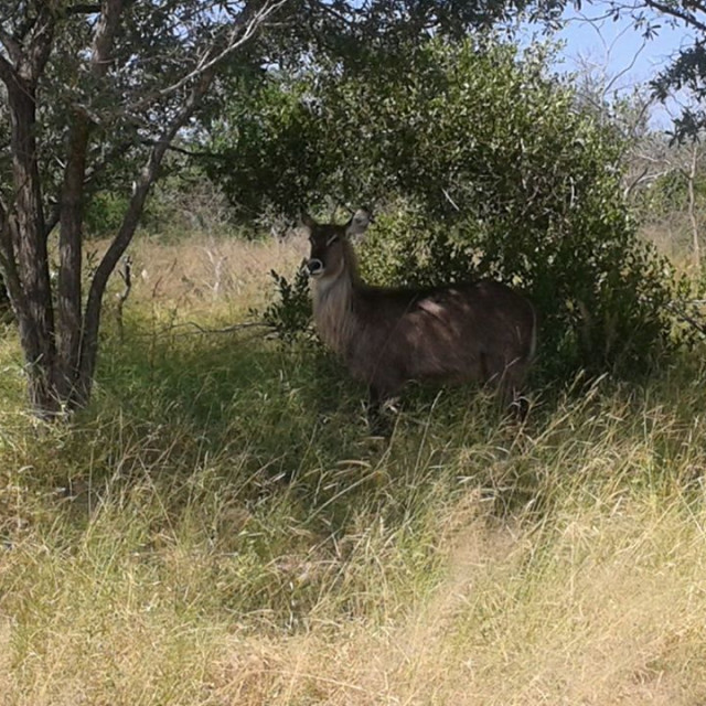 """Kudu in the bush"" stock image"