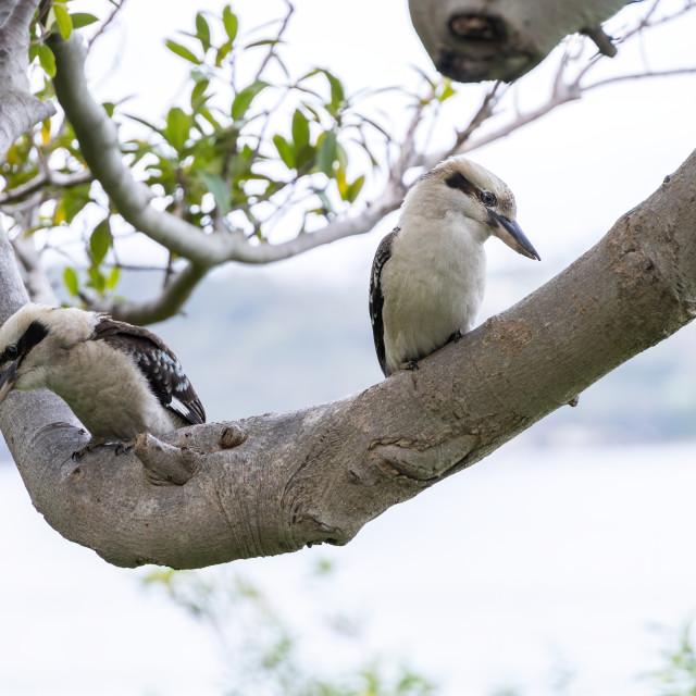 """""""Two Kookaburras"""" stock image"""