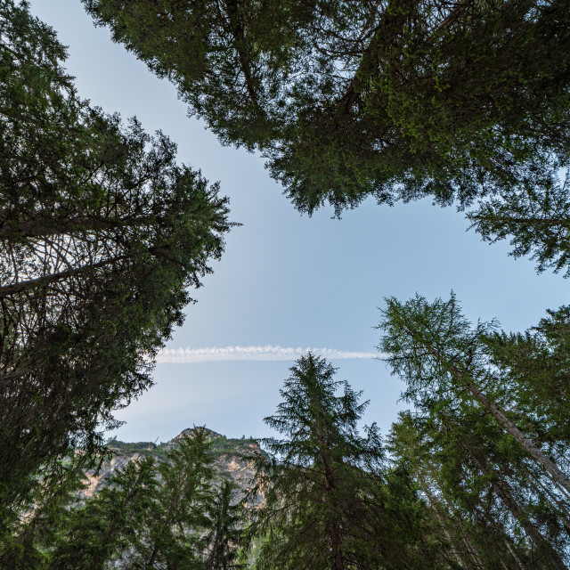 """""""Looking upwards you can see a blue sky among the tall trees"""" stock image"""