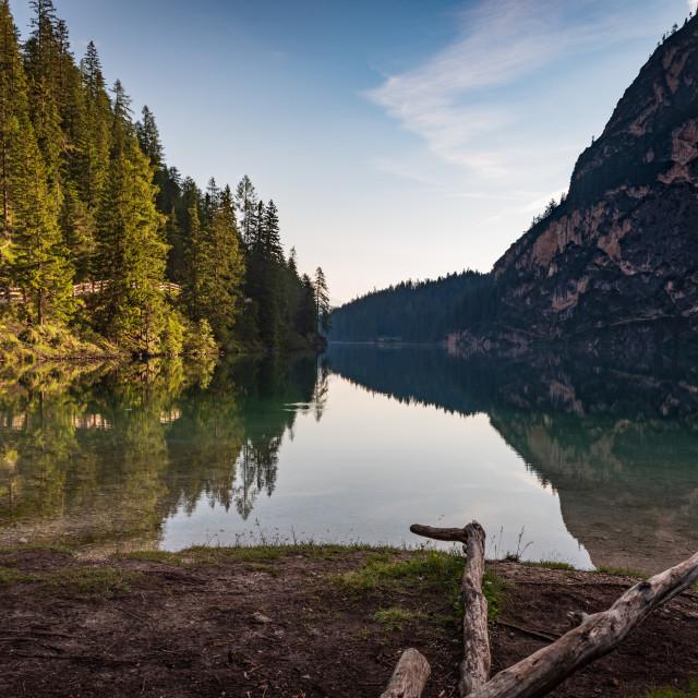 """The warm morning light illuminates the numerous green pines"" stock image"