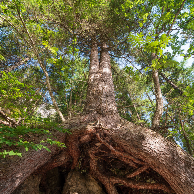 """""""Bottom view of a large tree and its huge roots that come out of"""" stock image"""