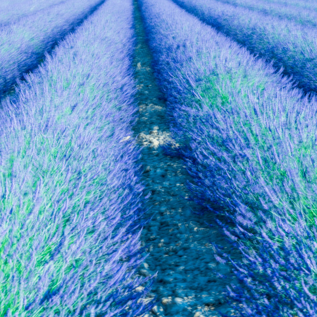 """""""A closeup view of a lavender field in Provence , France"""" stock image"""