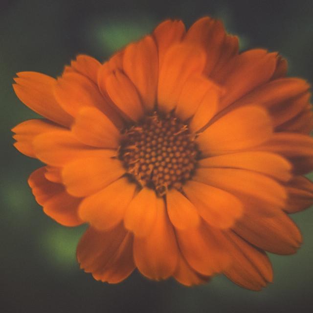 """Deep Orange Flower"" stock image"