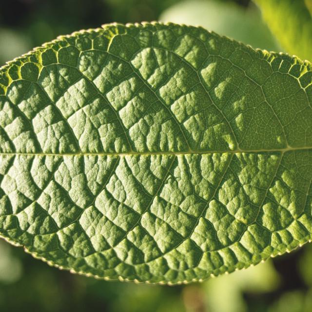 """Green Leaf II"" stock image"