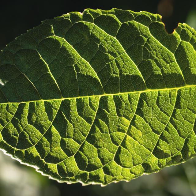 """Green Leaf I"" stock image"