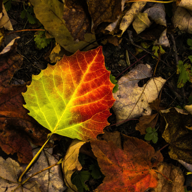"""""""The Birch Leaf"""" stock image"""