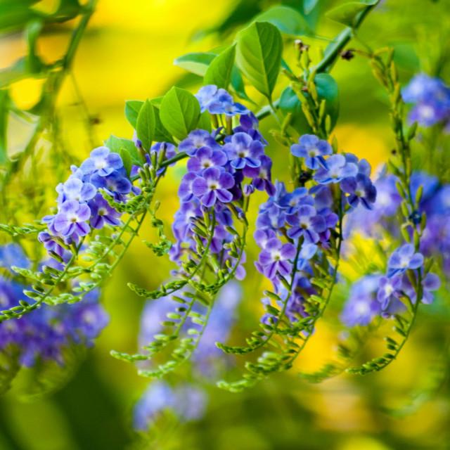 """""""Indigo Blue"""" stock image"""