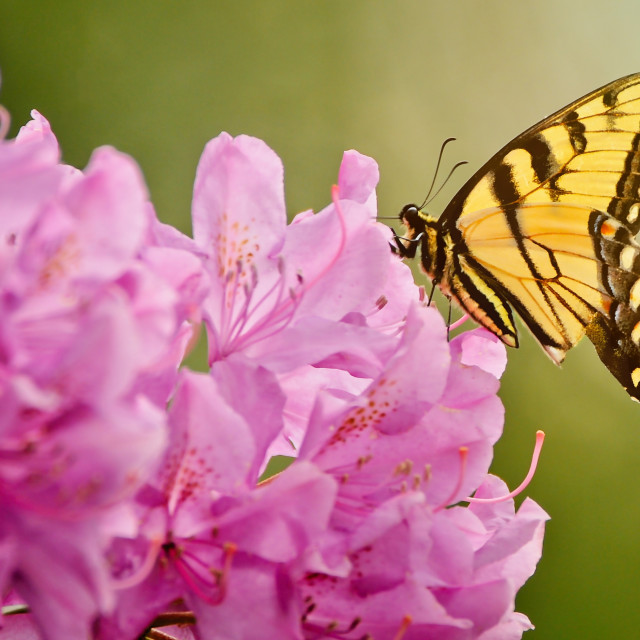 """""""Pink and Yellow"""" stock image"""