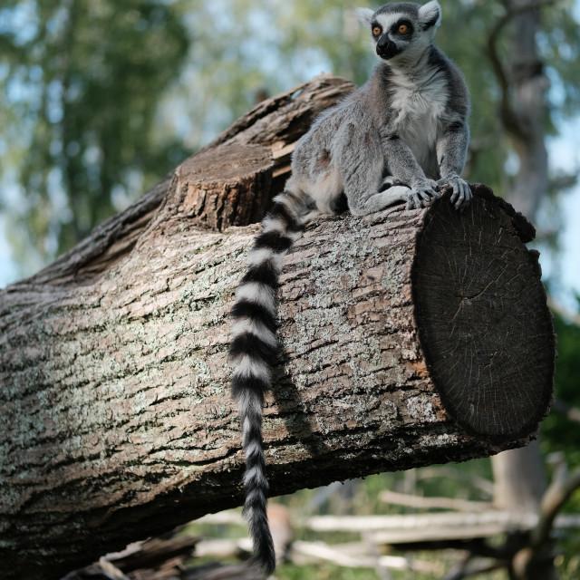 """Lemur log"" stock image"