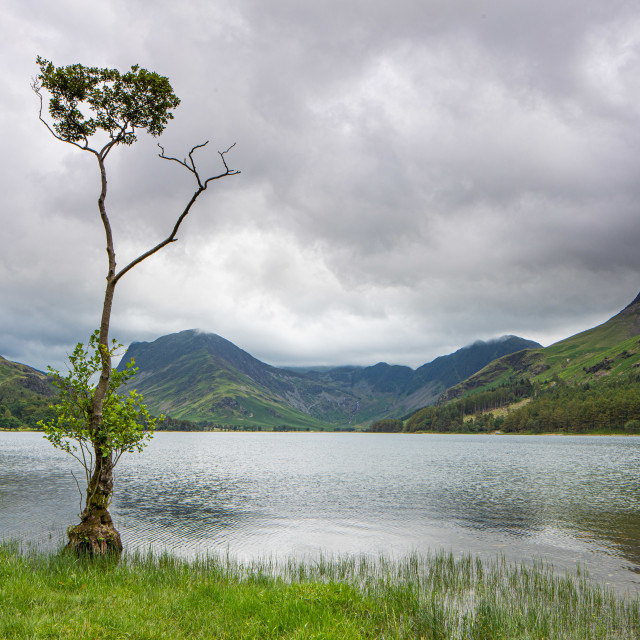 """Lone Tree at Buttermere"" stock image"