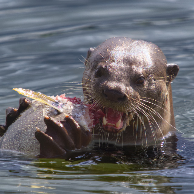 """""""Smooth-coated Otter"""" stock image"""