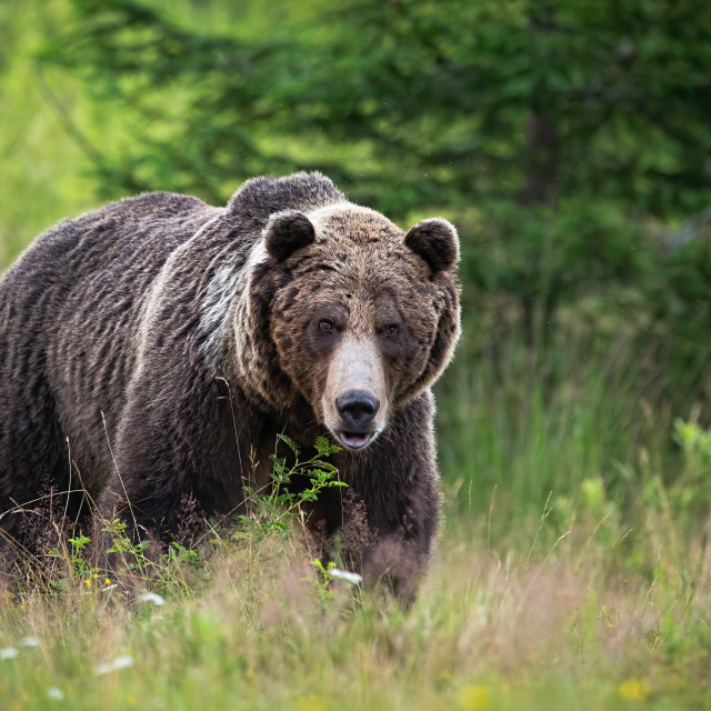 """""""Brown bear standing on meadow in summertime nature."""" stock image"""