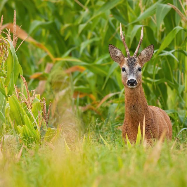 """Roe deer buck standing in corn field during the summer."" stock image"