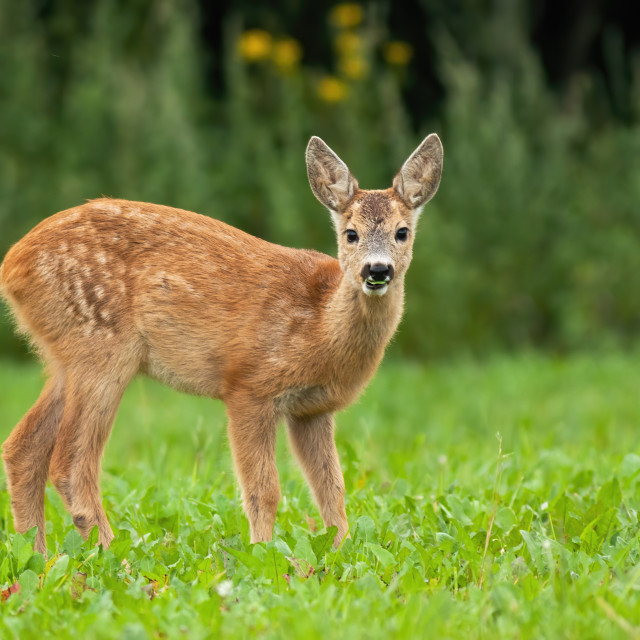 """""""Young roe deer standing on grass during the summer."""" stock image"""