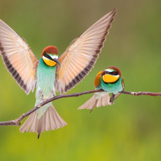 """Pair of european bee-eater landing on branch in summer."" stock image"