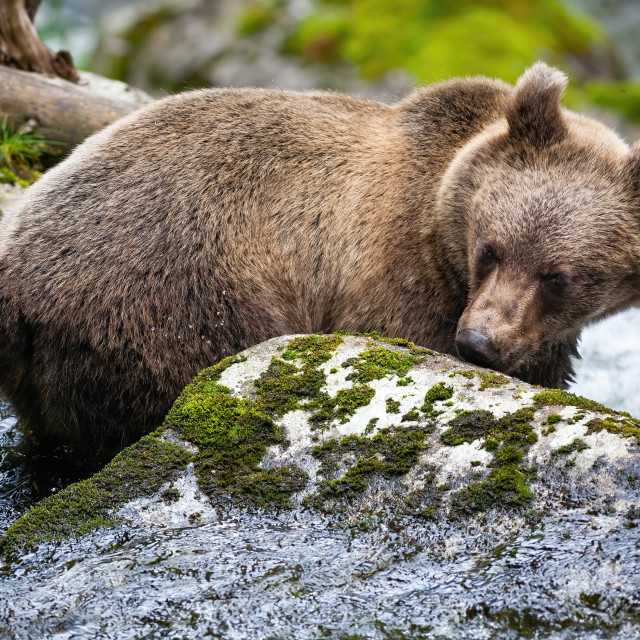 """""""Curious brown bear sniffing rock with moss in river."""" stock image"""