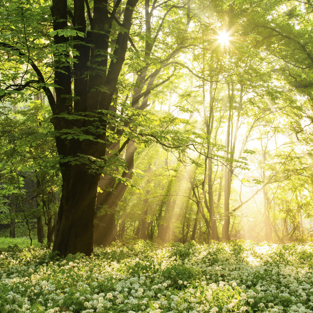 """""""Field of blooming ramsons under a tree illuminated by sunbeams."""" stock image"""