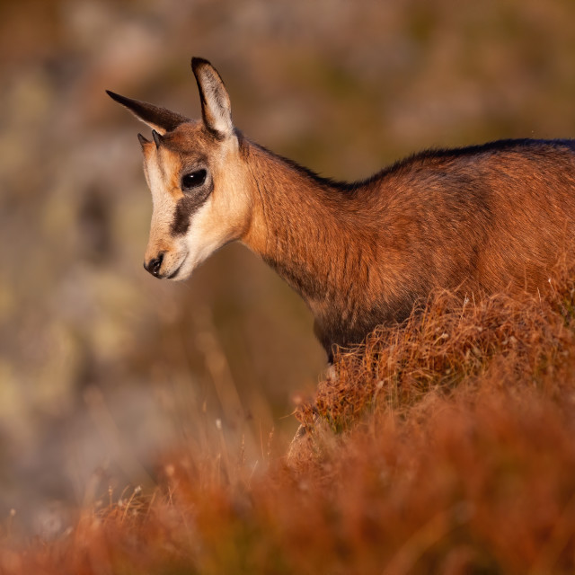 """""""Little tatra chamois standing in mountains in summer at sunset."""" stock image"""