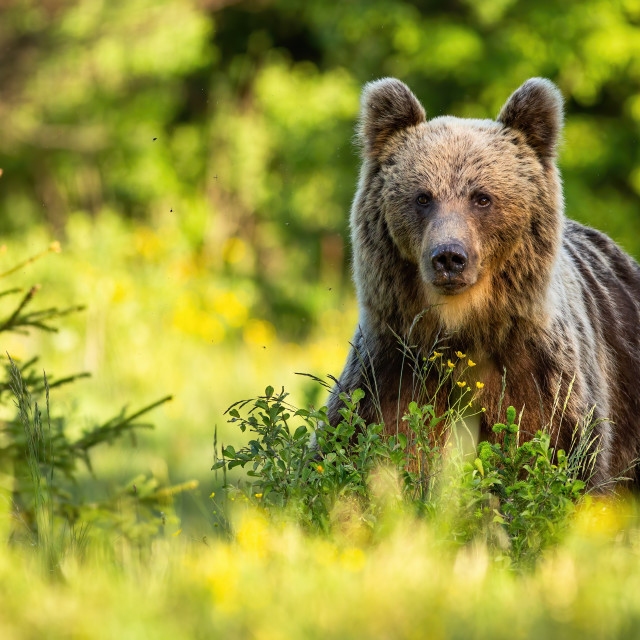"""""""Proud brown bear standing in forest in summer nature."""" stock image"""