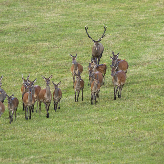 """""""Dominant red deer stag following herd of hinds in rutting season."""" stock image"""