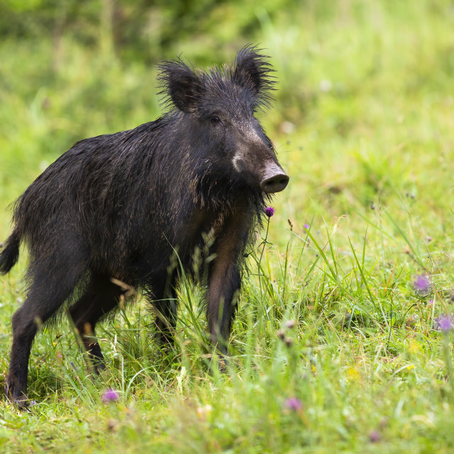 """""""Wild boar standing on meadow in summertime nature."""" stock image"""